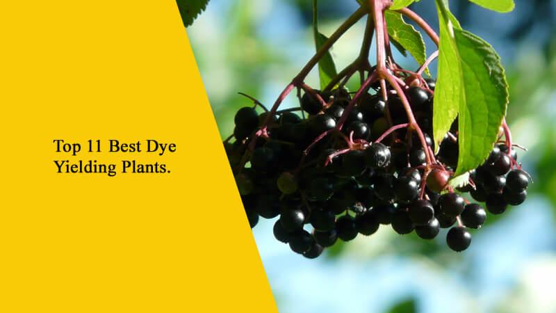 Top 11 Best Dye Yielding Plants in Nepal