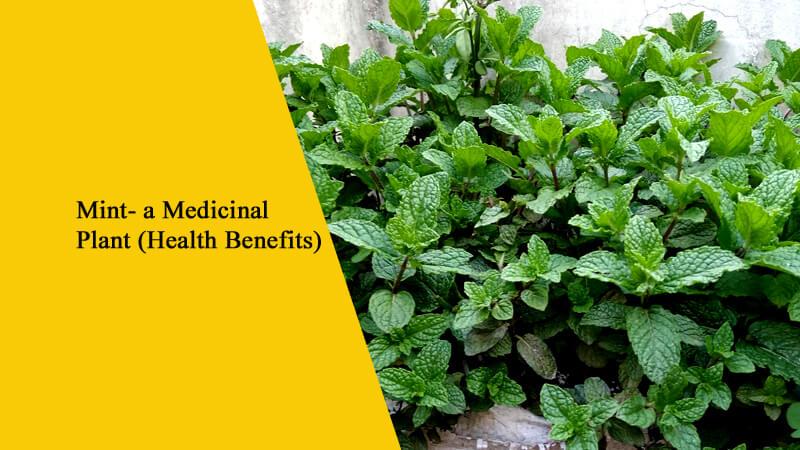Mint- a Medicinal Plant