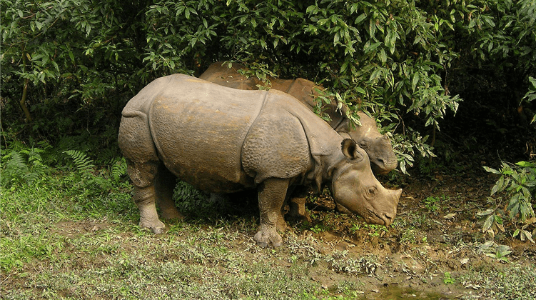 One-Horned Rhino - Chitwan National Park