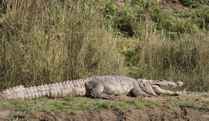 Crocodile-Chitwan National Park